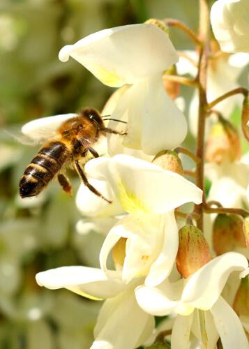 Miel-d'Acacia